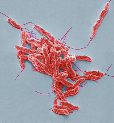 Bacteria Photograph - Campylobacter Jejuni Bacteria by Steve Gschmeissner