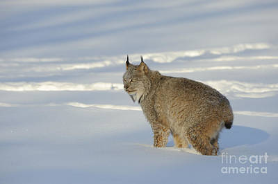 Canadian Lynx Photograph - Canadian Lynx by John Shaw