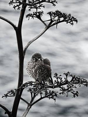 Photograph - Canarian Kestrel by Jouko Lehto
