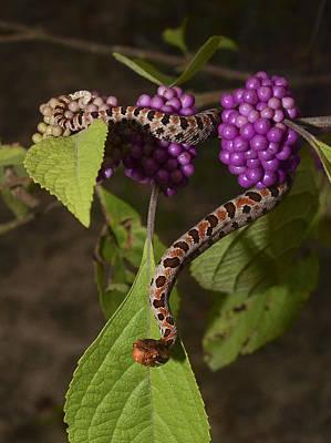 Canebrake Photograph - Carolina Pigmy Rattlesnake by Eric Abernethy