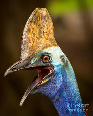 Cassowary Art Print by Craig Dingle