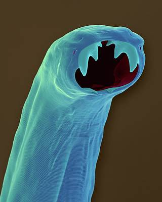 Cat Hookworm (ancylostoma Braziliense) Art Print by Dennis Kunkel Microscopy/science Photo Library