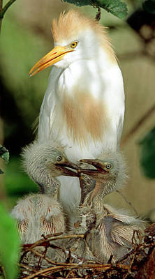 Photograph - Cattle Egret And Nestlings by Millard H. Sharp