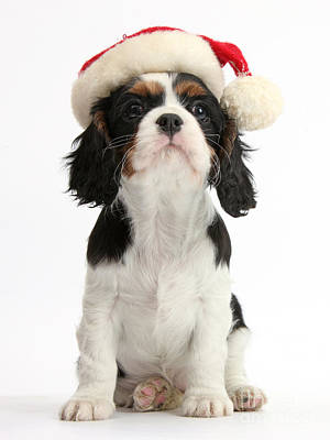 Cavalier King Charles Spaniel Puppy Print by Mark Taylor