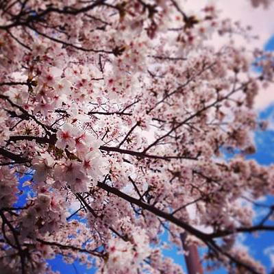 Wall Art - Photograph - Cherry Blossoms In Full Bloom by Takeshi O