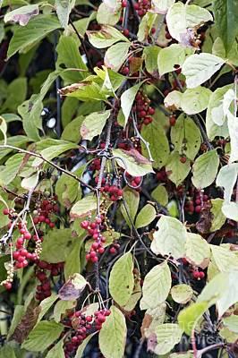 Deciduous Woody Vines Photograph - Chinese Schisandra Schisandra Chinensis by Dr. Nick Kurzenko