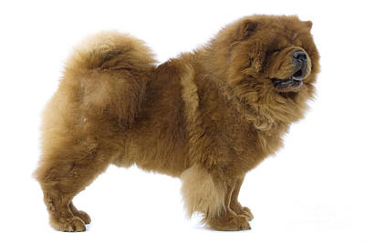 Chow Chow Photograph - Chow Chow by Jean-Michel Labat
