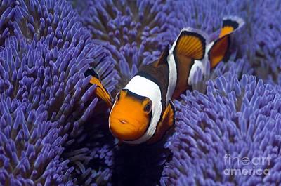Clown Fish Photograph - Clown Anemonefish by Georgette Douwma