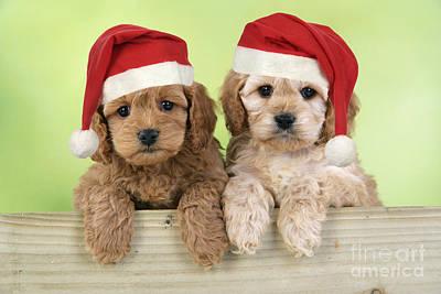 Cockapoo Puppy Dogs Art Print