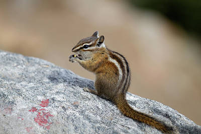 Chipmunk Photograph - Colorado, Rocky Mountain National Park by Jamie and Judy Wild