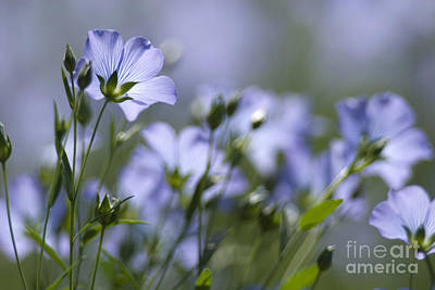 Lint Photograph - Common Flax Linum Usitatissimum by Adrian Bicker