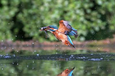 Common Kingfisher Catching A Fish Art Print by Dr P. Marazzi