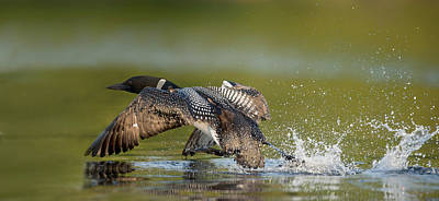 Common Loon Print by Loon  Images
