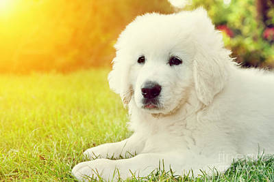 Adorable Photograph - Cute White Puppy Dog Lying On Grass by Michal Bednarek