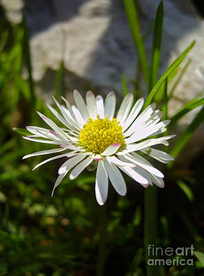 Photograph - Daisy by Nina Ficur Feenan