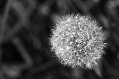 Photograph - Dandelion Seed Head by Chris Day