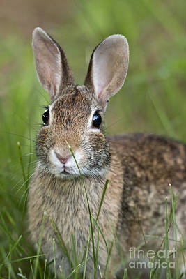 Photograph - Eastern Cottontail by Linda Freshwaters Arndt