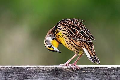 Photograph - Eastern Meadowlark by Ira Runyan