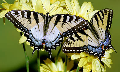 Photograph - Eastern Tiger Swallowtail Butterflies by Millard H. Sharp