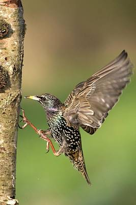 Starlings Wall Art - Photograph - European Starling by John Devries/science Photo Library