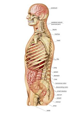 Anus Photograph - External Projection Of Internal Organs by Asklepios Medical Atlas