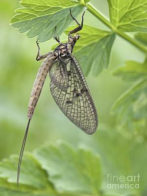 Female Mayfly Art Print by Adrian Bicker