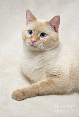Red Photograph - Flame Point Siamese Cat by Amy Cicconi