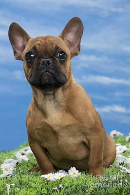 Cute French Bulldog Photograph - French Bulldog Puppy by Jean-Michel Labat