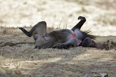 African Sex Photograph - Gelada Baboon by M. Watson
