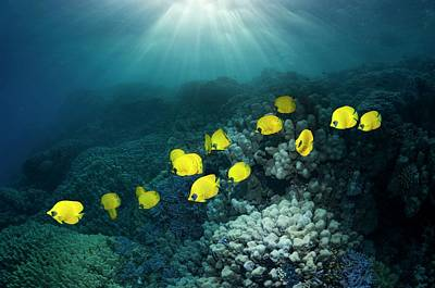 Under Water. Nature Photograph - Golden Butterflyfish by Georgette Douwma