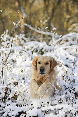 Golden Retriever In Snow Art Print by John Daniels