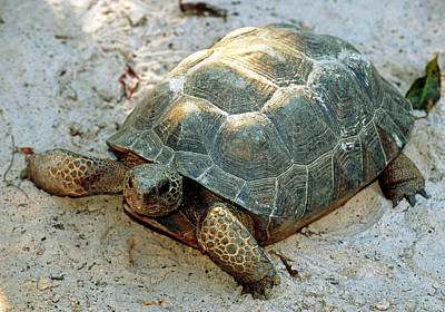Photograph - Gopher Tortoise by Millard H. Sharp