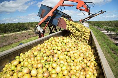 Grapefruit Photograph - Grapefruit Farming by Jim West