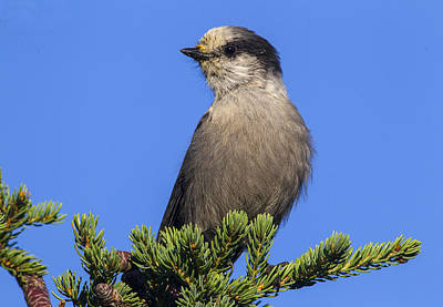 Photograph - Gray Jay  by Doug Lloyd