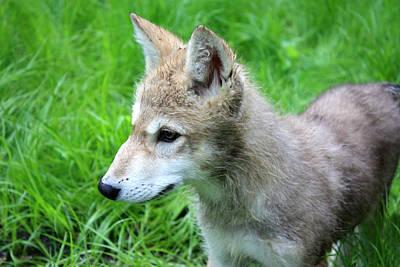 Gray Wolf Pup Art Print