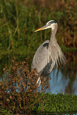 Great Blue Heron (ardea Herodias Art Print by Larry Ditto