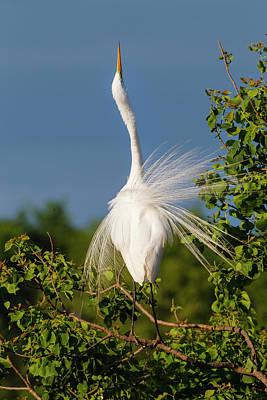 Great Egret (ardea Alba Art Print