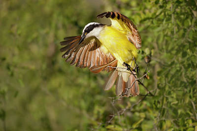 Starr Photograph - Great Kiskadee (pitangus Sulphuratus by Larry Ditto