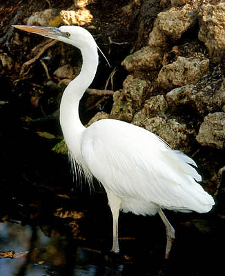 Photograph - Great White Heron by Millard H. Sharp