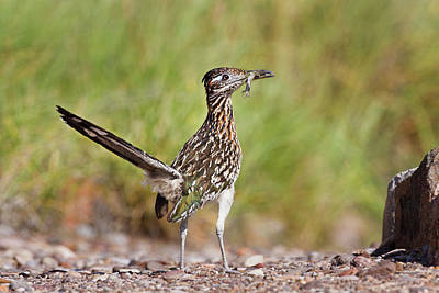 Big Bend National Park Photograph - Greater Roadrunner (geococcyx by Larry Ditto
