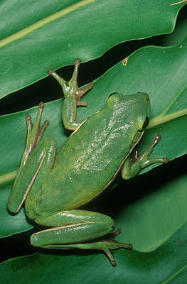 Photograph - Green Tree Frog by Millard H. Sharp
