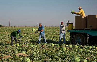 Gathering Photograph - Harvesting Watermelons by Jim West
