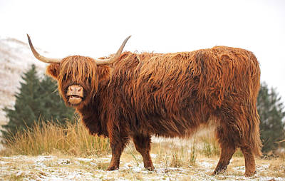 Scottish Highlands Wall Art - Photograph - Highland Cow by Grant Glendinning