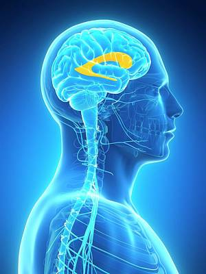 Biomedical Illustration Photograph - Human Brain by Sebastian Kaulitzki