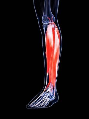 Human Calf Muscles Art Print by Sebastian Kaulitzki
