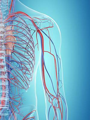Human Cardiovascular System Art Print by Sciepro