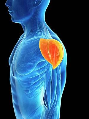Human Shoulder Muscle Art Print by Sebastian Kaulitzki