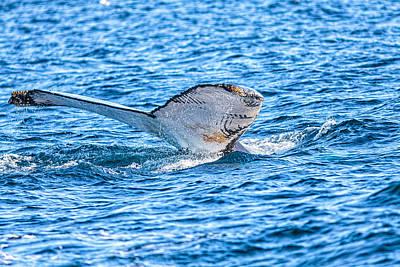 Photograph - Humpback Whale Lobtailing by Perla Copernik
