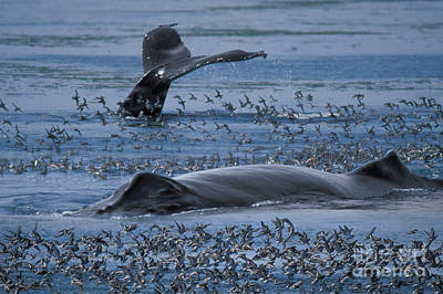 Flying Whale Photograph - Humpback Whale by Ron Sanford