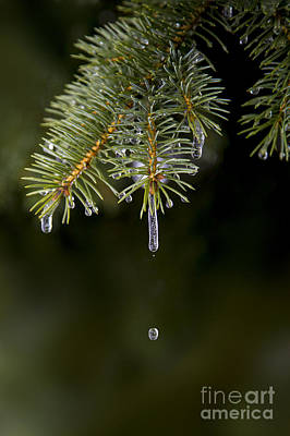 Ice Cicles Melting On A Pine Branch Art Print by Twenty Two North Photography